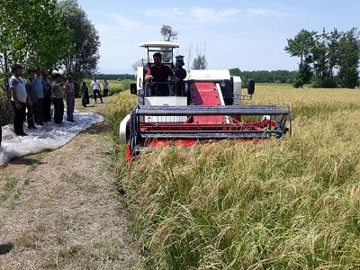 اولین برداشت مکانیزه برنج در شهرستان رشت