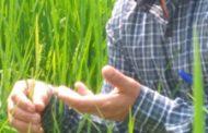 به بار نشستن اولین خوشه های برنج در استان گیلان
