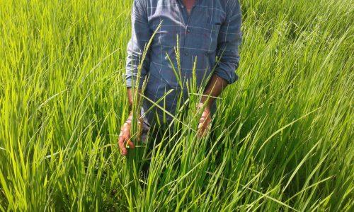 به بار نشستن خوشه های برنج در استان گیلان